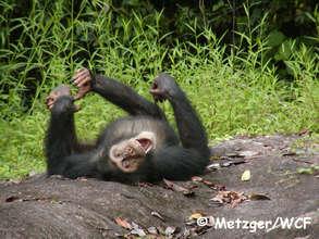 Tai chimpanzee