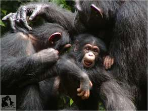 Chimpanzee grooming session