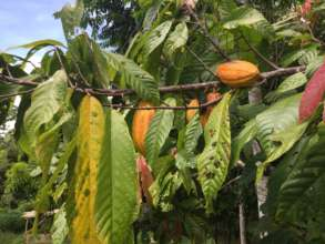 Cocoa Tree 5 years old Theobroma Cocoa