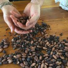 Toasted cocoa beans
