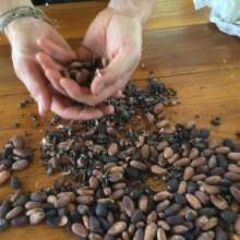 COCOA or Chocolate seeds