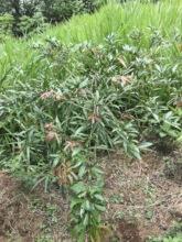 Zota de Caballo Tree Planted 2018