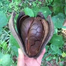 Rare h!ardwood tree seeds amaze us! Awe and WONDER