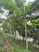 Good management equals  big trees