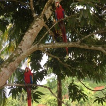 Scarlett macaws love the trees!