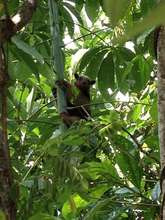 Anteater Living in 3 yr Ceiba Tree Planted by ACCT