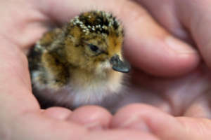 Hatchling in good hands (C) Paul Marshall