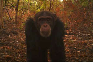Using Camera Traps to track Chimpanzees in Boe