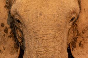 African Elephant (c) IUCN/Remco Van Merm