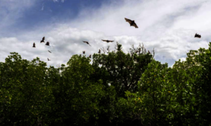 Flying Foxes Overhead