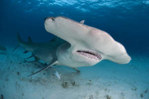 Up close with Hammerhead sharks (C) VK