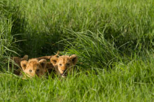 Two lion cubs. Credit: Laly Lichtenfeld