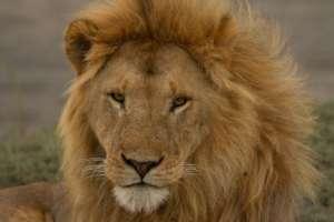 Lion. Credit: Laly Lichtenfeld