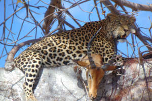Leopard and kill sighted in a tree. Credit: RCP