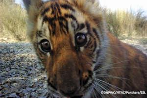 A passing tiger cub inspects a camera trap