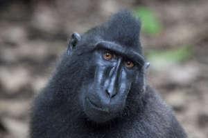 Sulawesi crested black macaque (Macaca nigra)