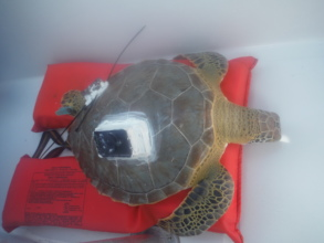 A tracking device is affixed to a turtle's shell