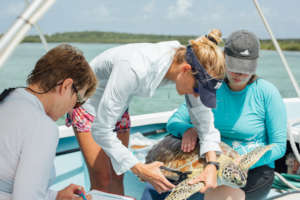 A sea turtle is carefully tagged