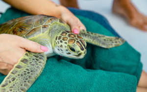 An untagged new(!) green sea turtle on Eleuthera