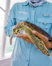 Dr. Brooks holds a juvenile green sea turtle