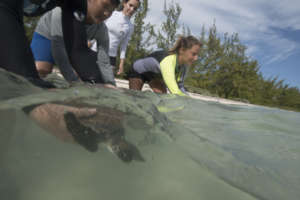 Sea turtles are released after measuring