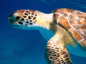 Help save green sea turtles in the Bahamas