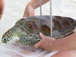 Researchers measuring sea turtles.