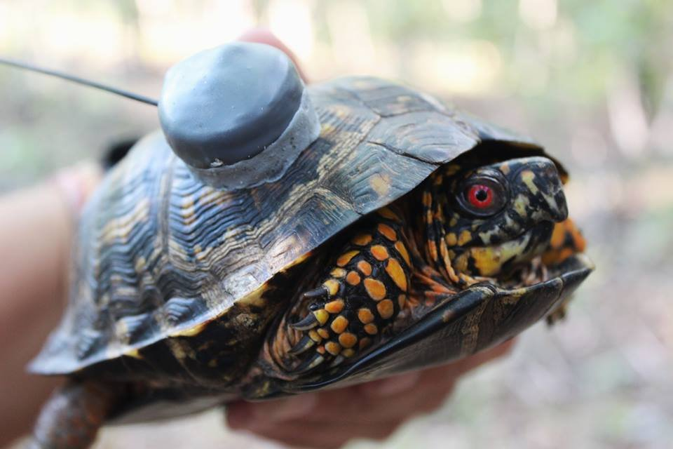 Help Save the Box Turtles!
