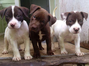 Treat Pit Bulls Suffering From Heartworm Disease