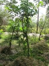 SEPALI demonstration farm - talandoa and vanilla