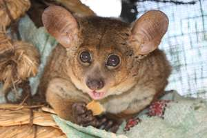 Bushbaby, Banchee enjoying his favourite biscuit!