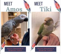 AMOS AND TIKI ARE STILL LOOKING FOR A FAMILY