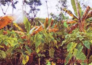 Dying banana trees - part of the staple diet.
