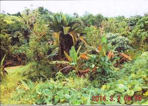 Food gardens affected by the toxic cloud.