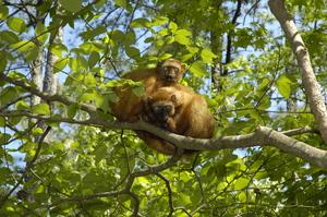 Critically endangered blue-eyed black lemurs