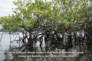 Golfo Dulce mangroves, Osa Peninsula, Costa Rica