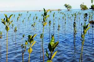 Area of Mangrove Reforestation in Brgy. Tuminjao