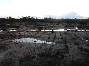 Newly planted mangrove propagules in Bantayan,Cebu
