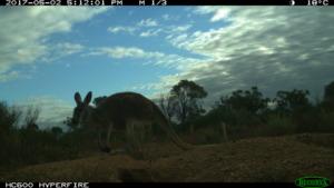 Resident Kangaroo!