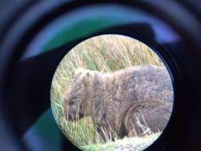 I spy a wombat!