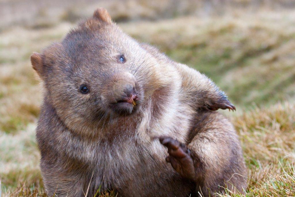Wombat Appeal