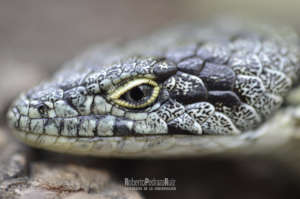 The Little Dragon of the Sierra Madre