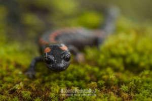 Bell's False Brook Salamander