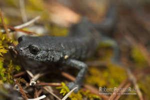Chunky False Brook Salamander