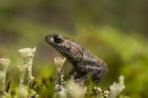 Leprous False Brook Salamander