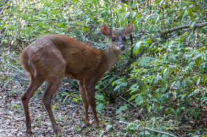 Temazate Deer