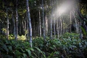 Sun filtering through Moena Alcanfor trees.