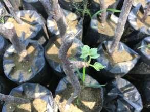Palo Santo Seedlings