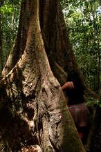 The mighty Amazonian ironwood tree