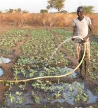 watering the collard greens